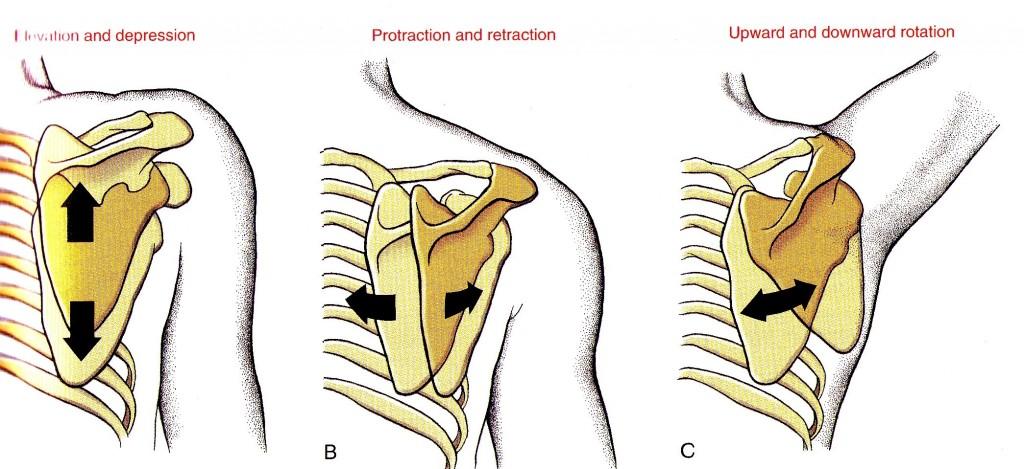Figura 2. Movimenti dell'articolazione scapolotoracica destra Neumann D.A. Kinesiology of the musculoskeletal system